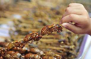Several cooked cicadas on a skewer, near a pile of similar cicada-laden skewers