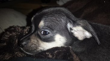 Tiny Black and Beige Chihuahua Puppy